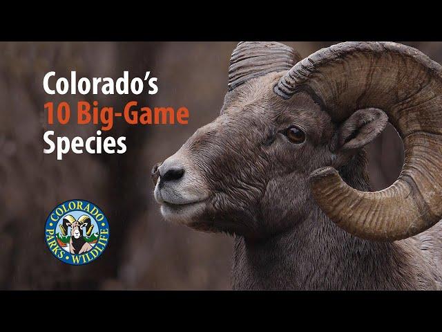 Colorado's Ten Big-Game Species