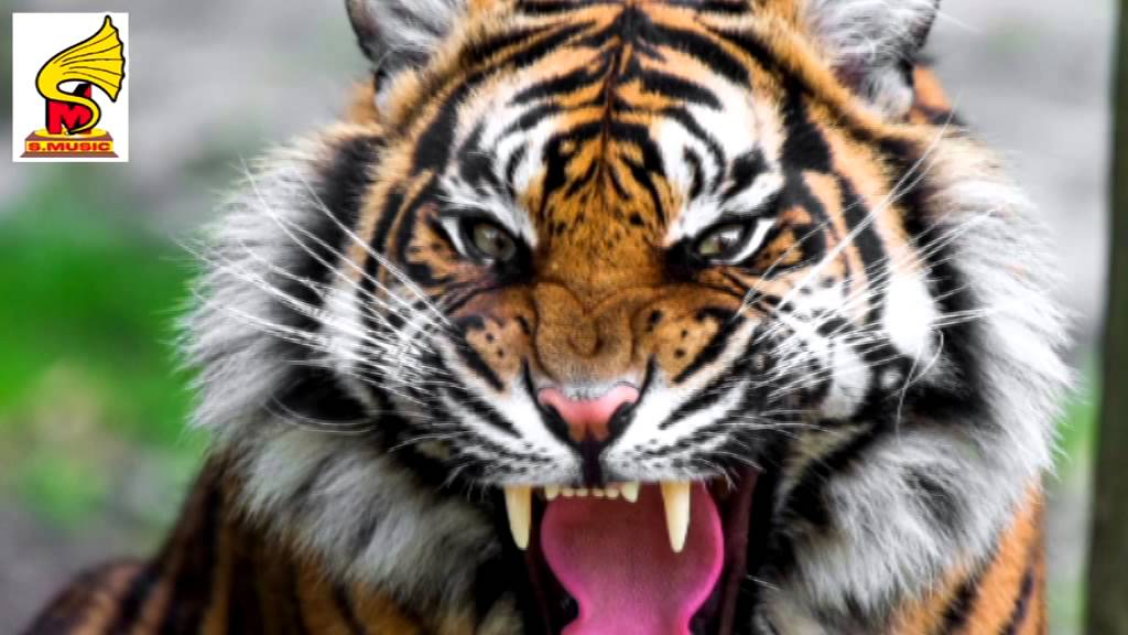 Tiger Roar & Growl SOUND EFFECT = Animal Sound for ...