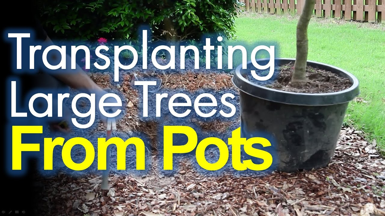 Transplanting Potted Trees Made Easy Youtube