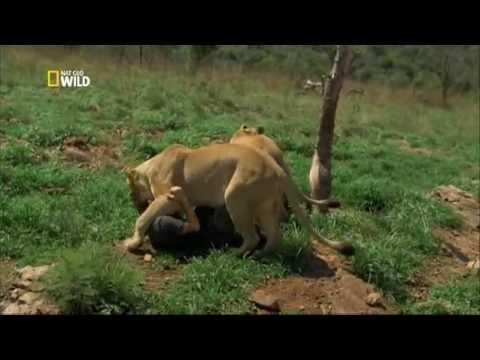 Az oroszlán suttogó