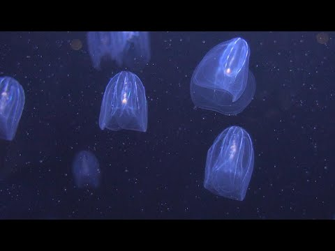 Could jellyfish be the answer to the fight against ocean pollution?