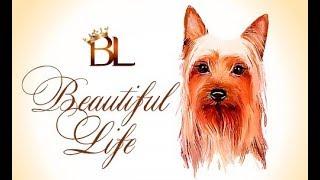 щенок - Австралийский Силки терьер - Бьютифул Лайф Юлитед Сонг/Beautiful Life Yulited  Song