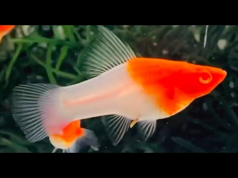 Top 10 Types Of Beautiful Molly Fish | Super Beautiful Molly Fish Types