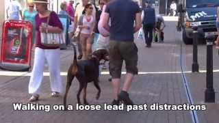 Stella - Doberman - 4 Week Dog Boot Camp / Residential Dog Training At Adolescent Dogs Uk