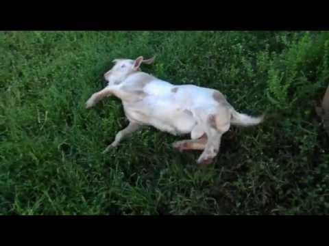 FAINTING GOAT?  HE GONE!