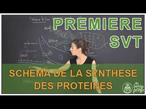 Schéma de la synthèse des protéines - SVT - 1ère S - Les Bons Profs