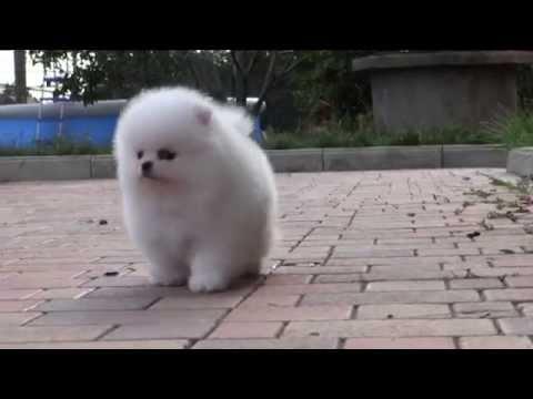 Как называется порода собак похожих на мишек но не шпиц