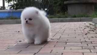 Белый померанский шпиц. Puppy white Pomeranian. www.elitdog.com(Наш телефон для преобретения щенка +380679861019 Яна, пишите на вайбер и ватс апп. Выбрать и купить щенка померанс..., 2014-07-22T17:22:45.000Z)