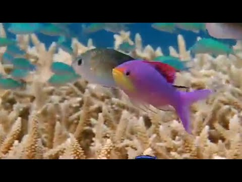 Gender jumping fish! - Battle of the Sexes in the Animal World - BBC