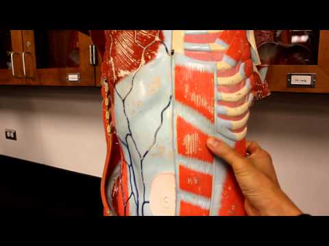 MUSCULAR SYSTEM ANATOMY:Muscles of the anterior abdominal wall torso model description