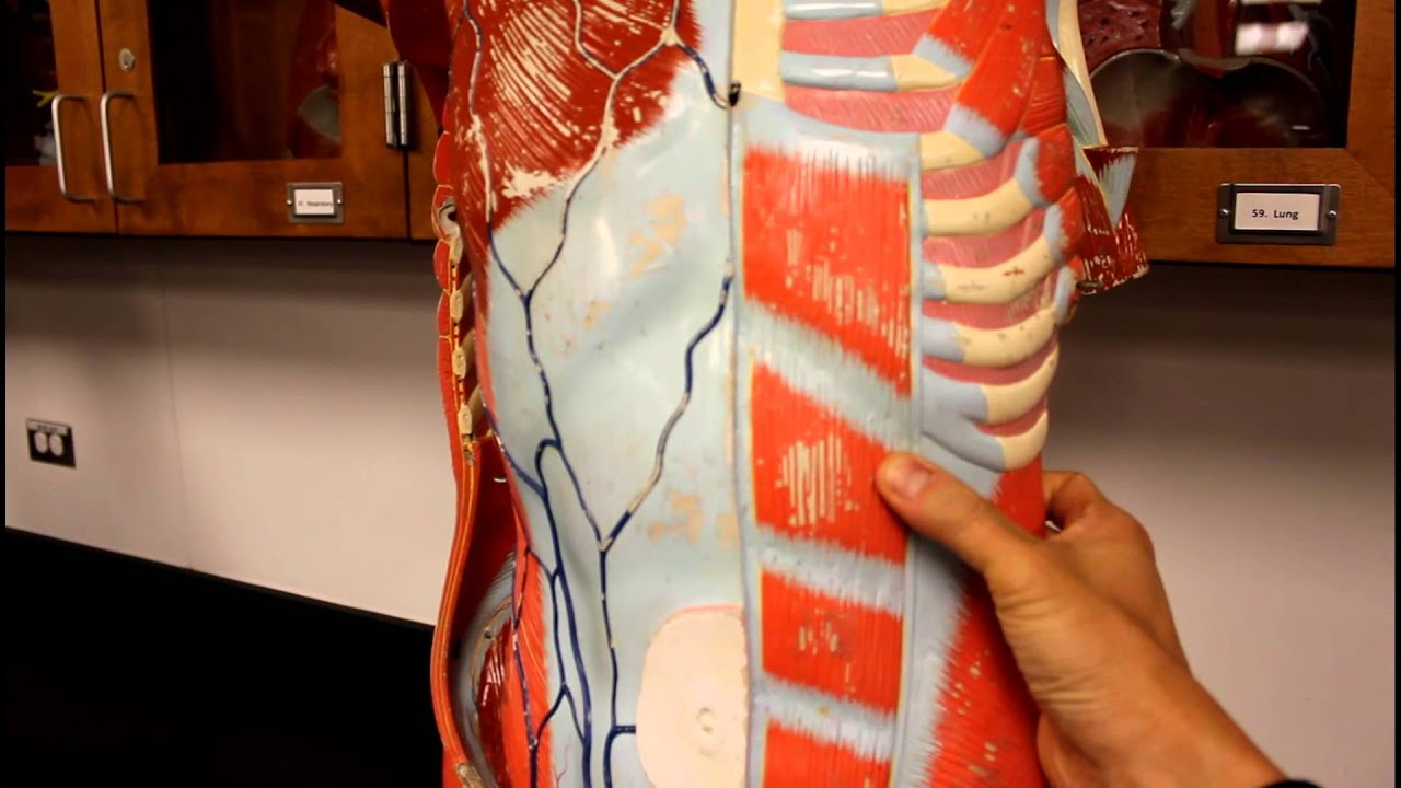 Muscular System Anatomymuscles Of The Anterior Abdominal Wall Torso