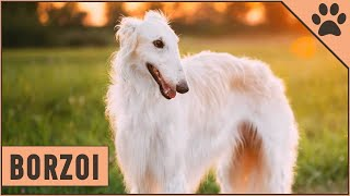 Borzoi Información De Raza De Perro   Perros Mundo