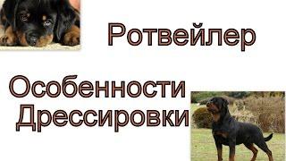 Особенности дрессировки ротвейлера Важные моменты дрессировки щенка ротвейлера