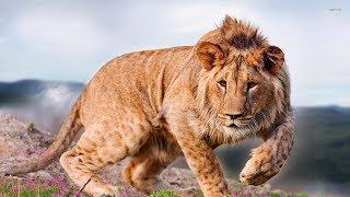 "National Geographic Documentary - The VUMBI Pride ""Lion Gangland"" - Wildlife Animal"