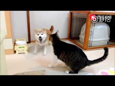 Shiba vs Cat ( Cute Dog angry cat)