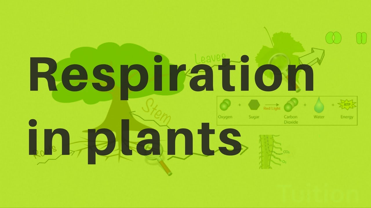 Respiration In Plants Youtube