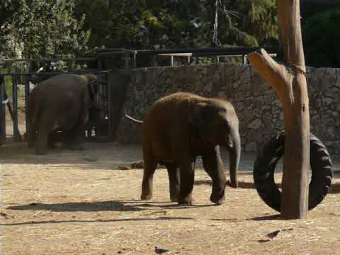 Enrichment for a baby of Asiatic elephant
