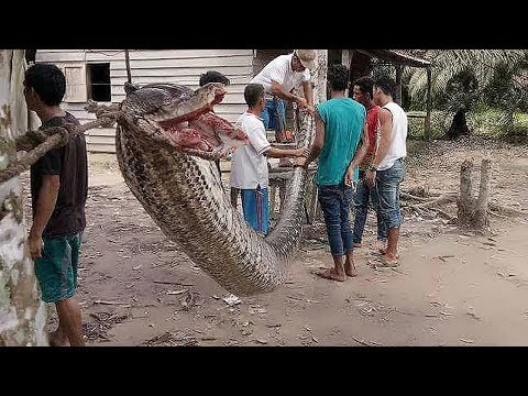 9 Biggest Snakes Ever Found