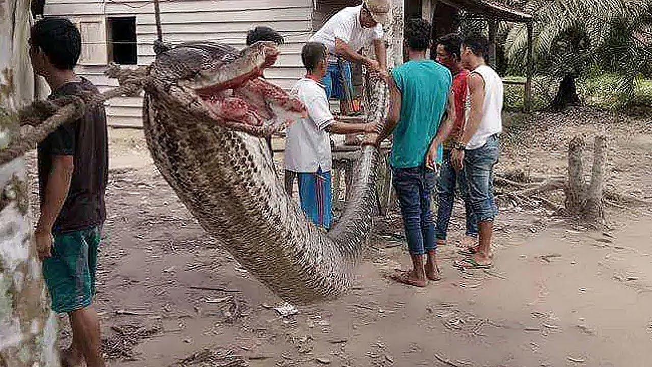 Download 9 Biggest Snakes Ever Found