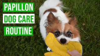 Papillon DOG CARE Routine // Percy the Papillon Dog