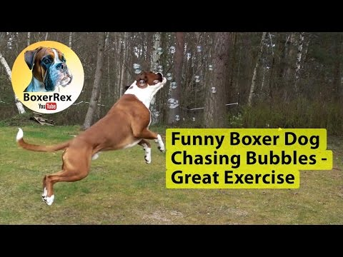 Funny Boxer Dog Chasing Bubbles - Great Exercise