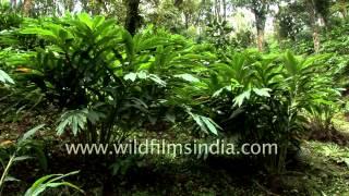 Kerala Spice trail: Cardamom plantations