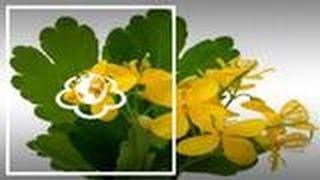 Чистотіл. Chelidonium majus