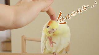 這種鸚鵡高發眼病,千萬要注意!