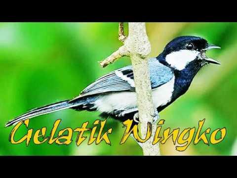 Download Suara Masteran Burung Gelatik Wingko