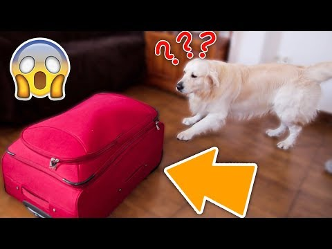 Hiding from My Dog in a Suitcase! Can a Golden Retriever Find Me?