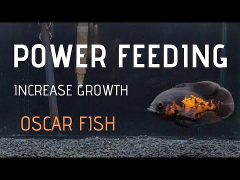 How To Make Oscar Fish Grow FAST - Power Feeding