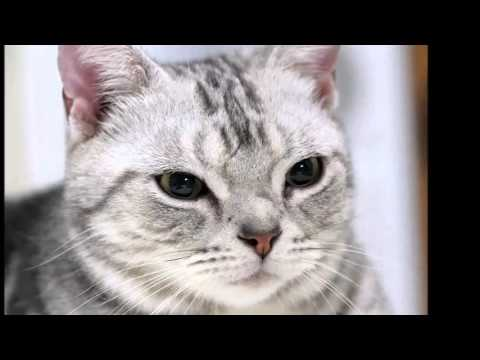 Beautiful photos of breeds of cats American Shorthair