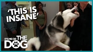 Dangerous Husky with No Bite Inhibition | It's Me or the Dog