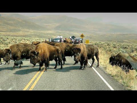 Huge Bison Herd Crosses Road - Yellowstone National Park