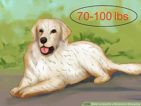 How to Identify a Maremma Sheepdog