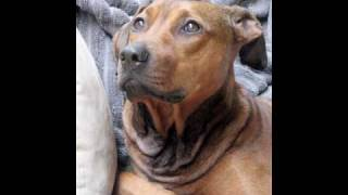Dog Models: Rottweiler Marlow & Pit Bull X Doberman Pincher Mariah