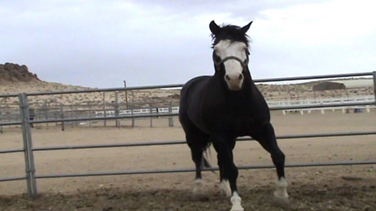 For Sale 4yo Black Paint Horse Stallion