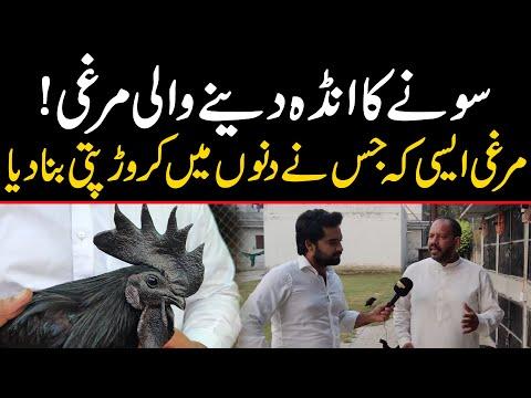 Sone ka Anda dene wali Murgi   Shamo Hen Farming in Pakistan