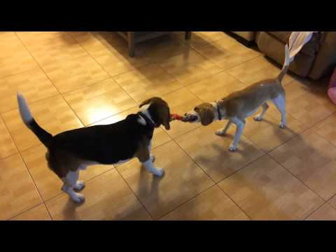 Two beagle dogs play Tug of War