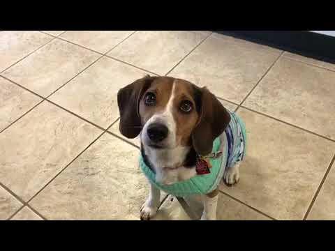 Beagle Life