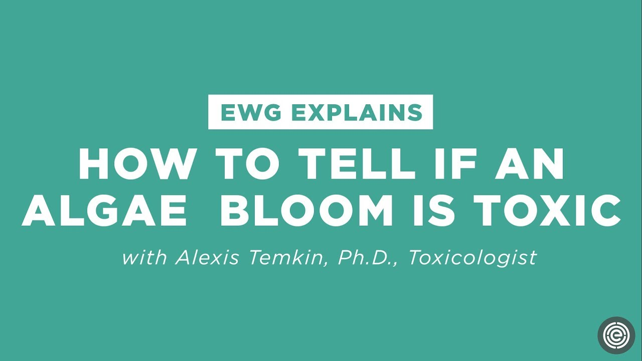How to tell if an algae bloom is toxic