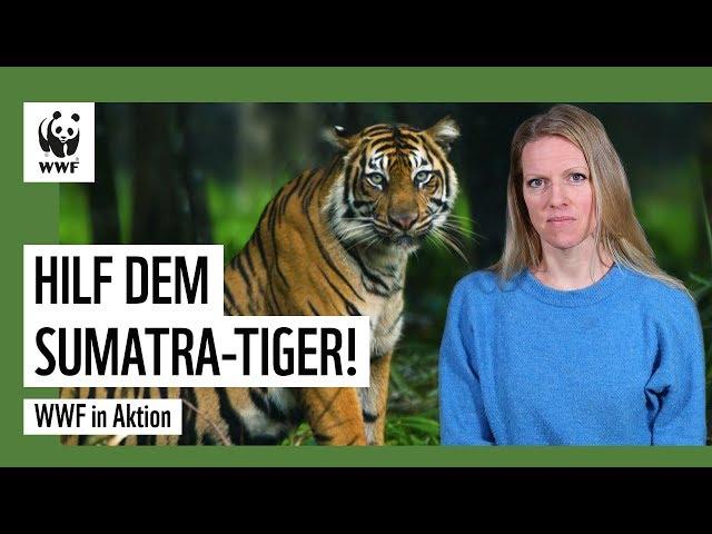 Sumatra-Tiger: Einzigartig und in großer Gefahr!