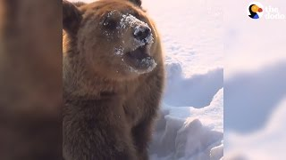 Rescue Bears Eat Snow Popsicles