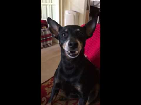 English Toy Terrier telling off her owner