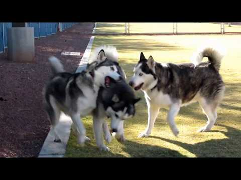 Siberian Huskies Amber Shadow Cody Playing