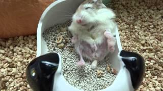 (hamster、ハムスター)睡前拉筋很重要