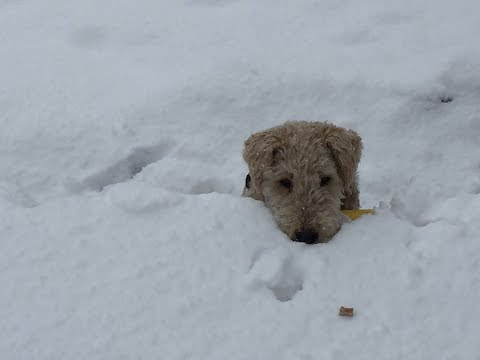 Lakeland Terrier Pucki - Best of Fun in the Snow