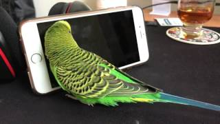 Repeat youtube video Bird Talks To iPhone - 4K video!