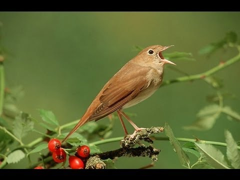 Nachtegaal / Common Nightingale singing