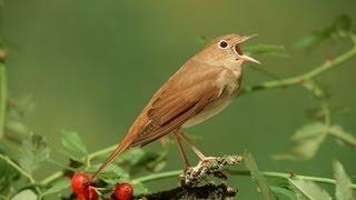 Nachtegaal / Common Nightingale singing MP3